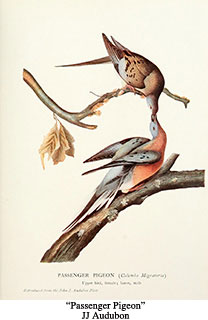 passenger pigeon2