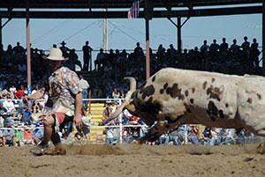 angola rodeo bull