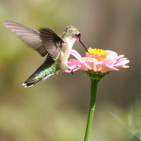 Feliciana Hummingbird Celebration